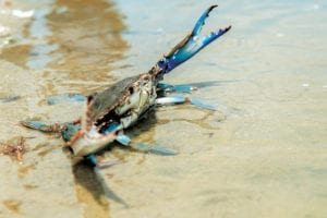 About Maryland Blue Crabs