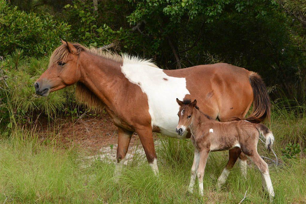 Assateague Island National Seashore New Foal